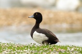 WildLife Photos of Geese, Ducks & others, Tufted Duck, Aythya fuligula