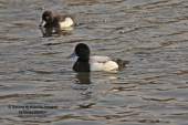 WildLife Photos of Geese, Ducks & others, Greater Scaup, Aythya marila