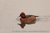 WildLife Photos of Geese, Ducks & others, Ferruginous Duck, Aythya nyroca