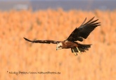 WildLife Photos of Birds, Birds of Prey, Western Marsh-harrier