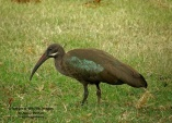 WildLife Photos of Hadada Ibis, Bostrychia hagedash