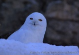 WildLife Photos of Owls & Nightjars, Snowy Owl, Nyctea scandiaca