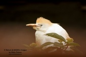WildLife Photos of Storks & Herons, Cattle Egret, Bubulcus ibis