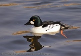 WildLife Photos of Geese, Ducks & others, Common Goldeneye, Bucephala clangula
