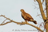 WildLife Photos of Common Buzzard, Buteo buteo
