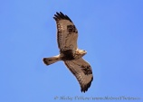 WildLife Photos of Rough-legged Hawk, Buteo lagopus