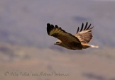 WildLife Photos of Long-legged Buzzard, Buteo rufinus