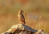 WildLife Photos of Larks, Swallows & Martins, Greater Short-toed Lark, Calandrella brachydactyla