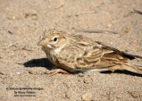 WildLife Photos of Larks, Swallows & Martins, Lesser Short-toed Lark, Calandrella rufescens