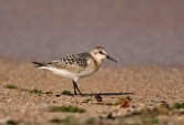 WildLife Photos of Sanderling, Calidris alba