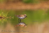 WildLife Photos of Birds, Waders, Little Stint, Calidris minuta