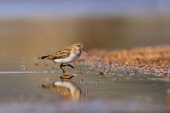 WildLife Photos of Temminck's Stint, Calidris temminckii