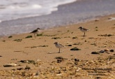 WildLife Photos of Birds, Waders, Common Ringed Plover, Charadrius hiaticula