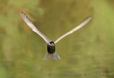 WildLife Photos of Whiskered Tern, Chlidonias hybrida