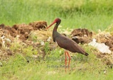 WildLife Photos of Storks & Herons, Black Stork, Ciconia nigra