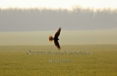 WildLife Photos of Northern Harrier, Circus cyaneus