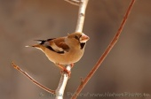 WildLife Photos of Hawfinch, Coccothraustes coccothraustes
