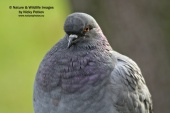 WildLife Photos of Rock Pigeon, Columba livia