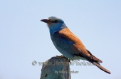 WildLife Photos of Bee-eaters & relatives, European Roller, Coracias garrulus