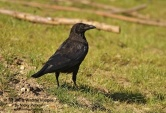 WildLife Photos of Birds, Crows, Starlings & others, Carrion Crow, Corvus corone