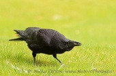 WildLife Photos of Carrion Crow, Corvus corone