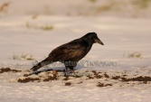 WildLife Photos of Birds, Crows, Starlings & others, Rook, Corvus frugilegus