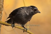 WildLife Photos of Eurasian Jackdaw, Corvus monedula