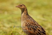 WildLife Photos of Corncrake, Crex crex