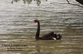 WildLife Photos of Geese, Ducks & others, Black Swan, Cygnus atratus