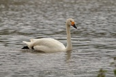 WildLife Photos of Geese, Ducks & others, Tundra Swan, Cygnus columbianus