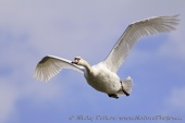 WildLife Photos of Geese, Ducks & others, Mute Swan, Cygnus olor
