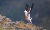 WildLife Photos of Birds, Birds of Prey, Egyptian Vulture
