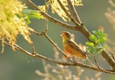 WildLife Photos of Ortolan Bunting, Emberiza hortulana
