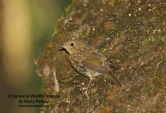 WildLife Photos of European Robin, Erithacus rubecula