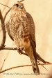 WildLife Photos of Merlin, Falco columbarius