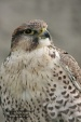 WildLife Photos of Birds, Birds of Prey, Saker Falcon, Falco cherrug