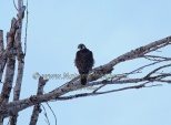 WildLife Photos of Birds, Birds of Prey, Peregrine Falcon, Falco peregrinus