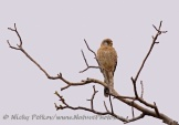 WildLife Photos of Common Kestrel, Falco tinnunculus