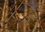 WildLife Photos of Birds, Sparrows, Finches & Buntings, Chaffinch, Fringilla coelebs