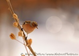 WildLife Photos of Chaffinch, Fringilla coelebs