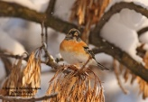 WildLife Photos of Brambling, Fringilla montifringilla
