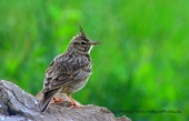WildLife Photos of Larks, Swallows & Martins, Crested Lark, Galerida cristata