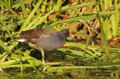 WildLife Photos of Birds, Rails & Crakes, Common Moorhen, Gallinula chloropus