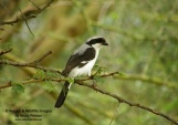 WildLife Photos of Birds, Shrikes, Grey-backed Fiscal, Lanius excubitoroides