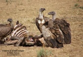 WildLife Photos of White-backed Vulture, Gyps africanus