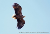 WildLife Photos of White-tailed Eagle, Haliaeetus albicilla