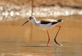 WildLife Photos of Black-winged Stilt, Himantopus himantopus