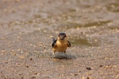 WildLife Photos of Larks, Swallows & Martins, Red-rumped Swallow, Hirundo daurica
