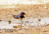 WildLife Photos of Larks, Swallows & Martins, Barn Swallow, Hirundo rustica