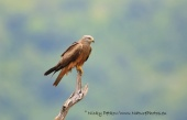 WildLife Photos of Birds, Birds of Prey, Black Kite